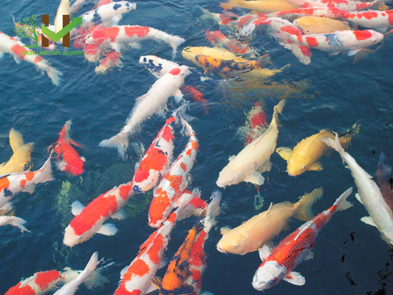 Cá Koi 1